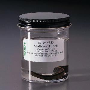 Ward's® Live Medicinal Leech (<i>Hirudo medicinalis</i>)