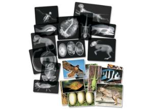 Roylco Animal X-Ray Cards