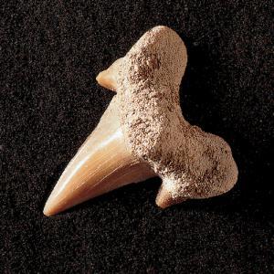 Otodus obliquus (Eocene)