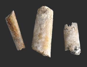 Baculites sp. (Cretaceous)