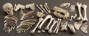 3B Scientific® Introductory Disarticulated Skeleton