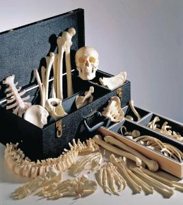 Male Disarticulated Skeleton With Case