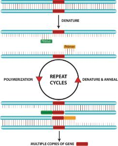 Polymerase Chain Reaction Activity Kit