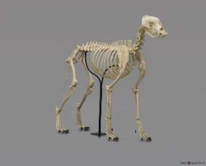 Large Dog Skeleton