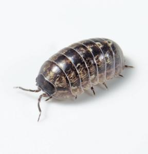 Ward's® Live Terrestrial Isopods (Pill Bugs and Sow Bugs)