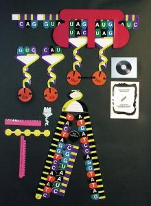 Protein Synthesis Manipulatives Demonstration