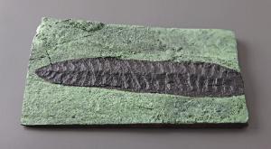 <i>Charniodiscus concentricus</i> (Precambrian)