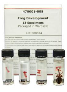 Frog Development Set, Preserved