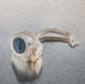 Ward's Pure Preserved™ Pig Eyes
