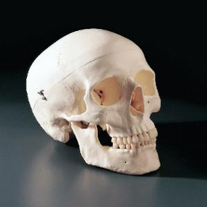 3B Scientific® Skull