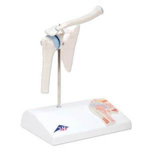 3B Scientific® Mini Joint With Cross Section Models