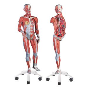 3B Scientific® 3/4 Size Muscular Figure