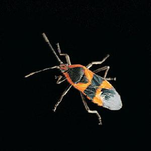 Ward's® Live Milkweed Bugs and Eggs (Oncopeltus fasciatus. )