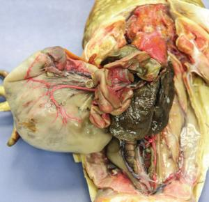Preserved Bullfrogs, Single Injected