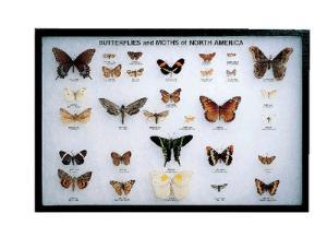 Butterflies and Moths Riker Mount