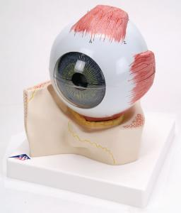 3B Scientific® Eye In Bony Orbit