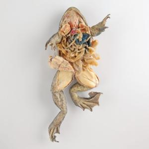 Plastinated Biological Specimens - Double Injected Bullfrog