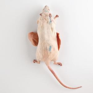 Plastinated Biological Specimens - Double Injected Rat