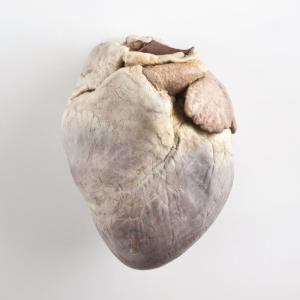 Plastinated Biological Specimens - Whole Pig Heart