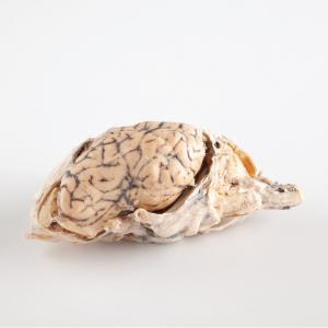 Plastinated Biological Specimens - Whole Sheep Brain