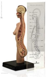 Anatomy Tools® Sagitally Sectioned Female Torso