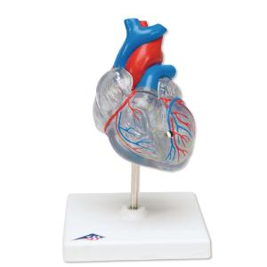 3B Scientific® Heart With Conducting System