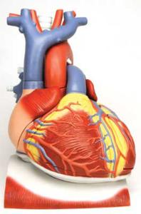 3B Scientific® Heart On Diaphragm