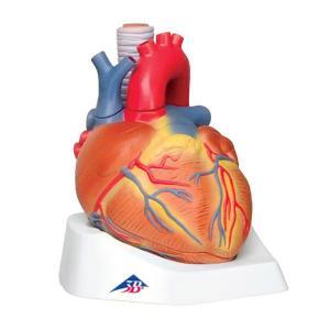 3B Scientific® Heart 7 Part