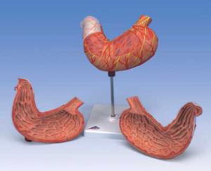 3B Scientific® Stomach Model