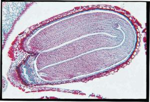Capsella, Mature Embryos Slide