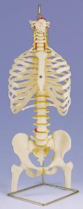 3B Scientific® Torso Skeleton And Stand