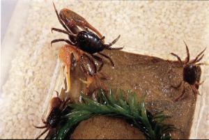 Ward's® Live Fiddler Crabs (Uca sp.)