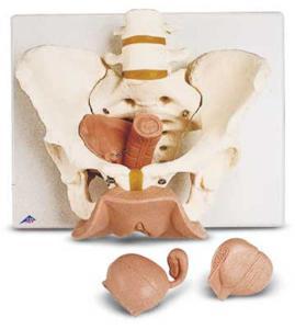 3B Scientific® Female Pelvic Skeleton With Genital Organs