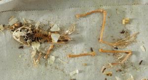 Ward's® Dermestid Skeletal Preparation Kit (Dermestes maculatus)
