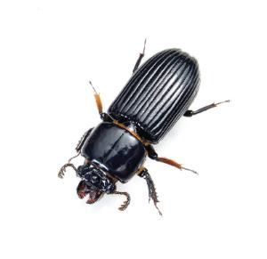 Ward's® Live Bess Beetles and Habitat (<i><B>Odontotaenius disjunctus</B></i>)