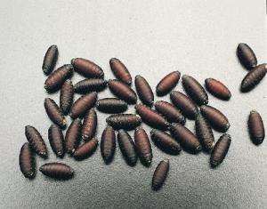 sarcophaga bullata fly larvae and pupae wards science