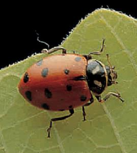 Ward's® Live Ladybugs