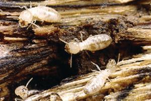 Ward's® Live Termite (<i>Reticulitermes sp.</i>)