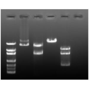 Restriction enzyme mapping (dark)