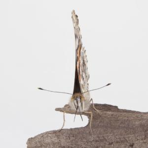 Ward's® Painted Lady Butterflies