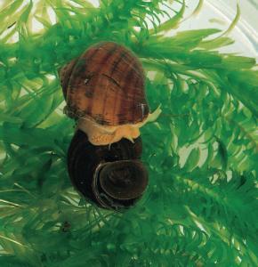 Live Mystery Snail