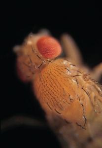 Live <i>Drosophila melanogaster</i> - Chromosome I Mutants