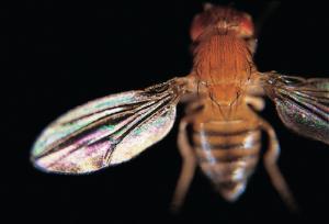 Ward's® Live <i>Drosophila melanogaster</i> - Chromosome II Mutants