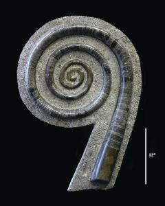 Fossil Nautiloid Display (Devonian)
