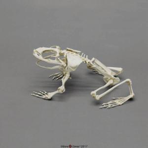 BoneClones® Goliath Frog Skeleton