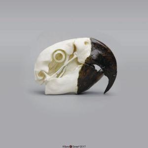 Hyacinth Macaw Skull