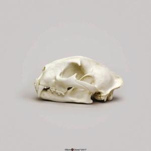 Male Cougar Skull