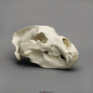 Kodiak Grizzly Bear Skull