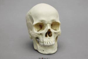 Human Male European Skull
