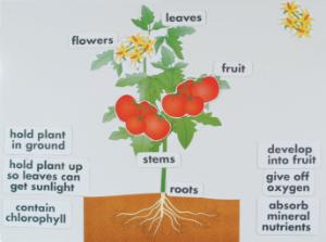 Parts of a Plant Giant Chalkboard Manipulative